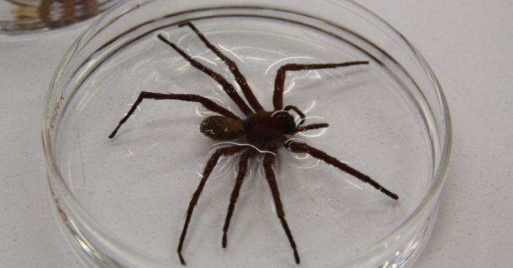 Nova espécie de aranha gigante é descoberta no México; ela tem 23 cm de diâmetro