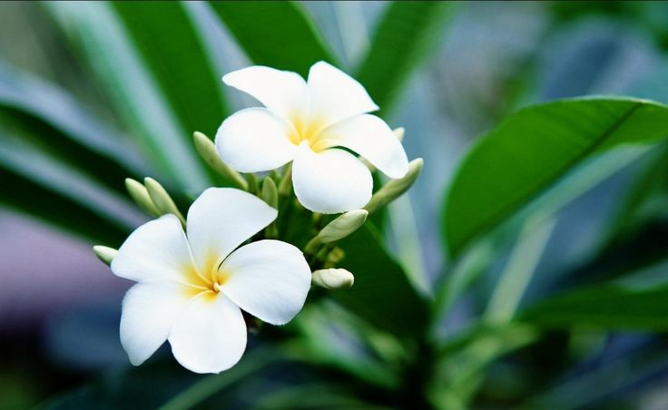 Galeri 15 Gambar Bunga Kamboja Yang Mengagumkan | FreshTure.com