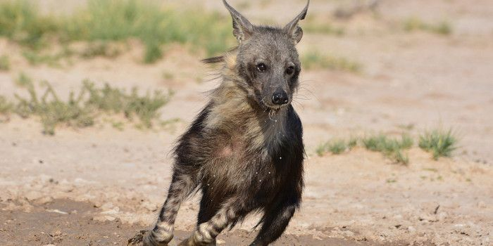 Image result for brown hyena