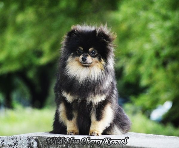 Black And Tan Pom Beautiful Dogs Black And Tan Pomeranian