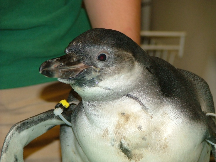2012 Humboldt Penguin chick Antia at the Akron Zoo