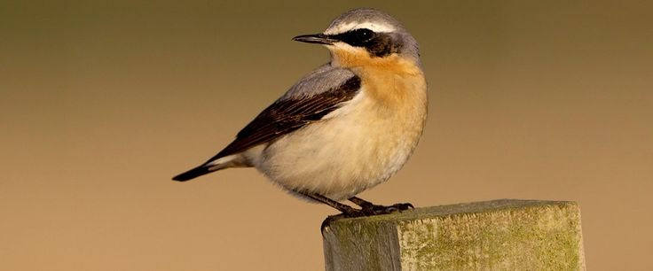 Image result for wheatear uk