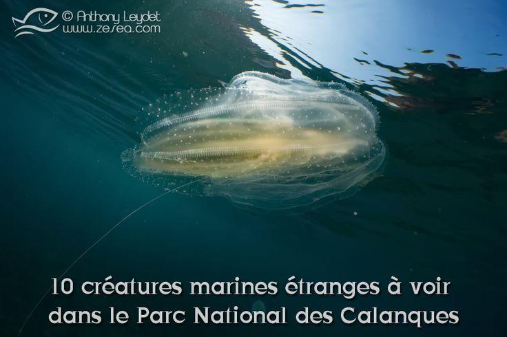 Le parc national des Calanques avec ses fabuleux sites de plongée, permet de faire la rencontre avec d'étranges créatures marines...