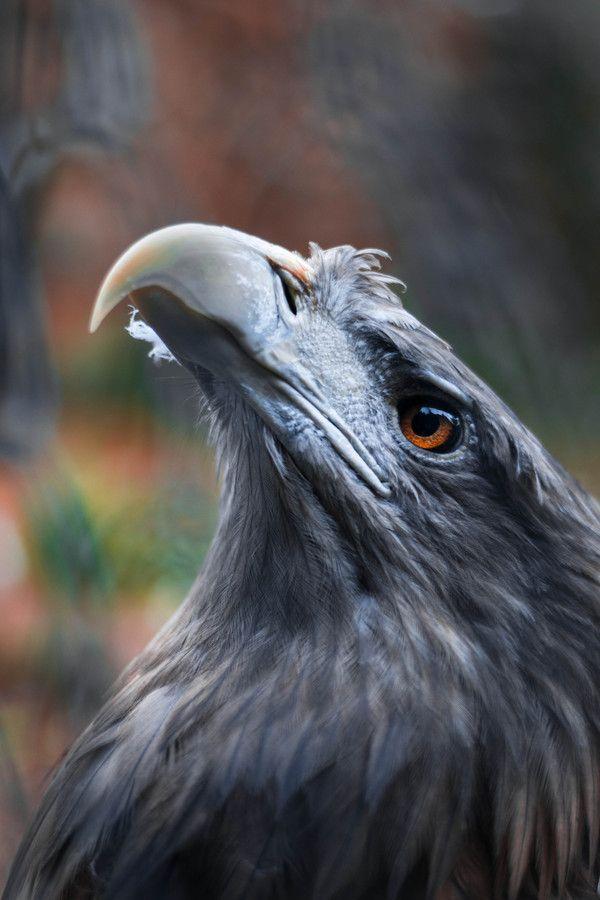 1000 Images About Bald Eagles On Pinterest Bald Eagle