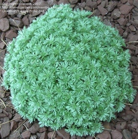 Full Size Picture Of Artemisia Satiny Wormwood Mugwort