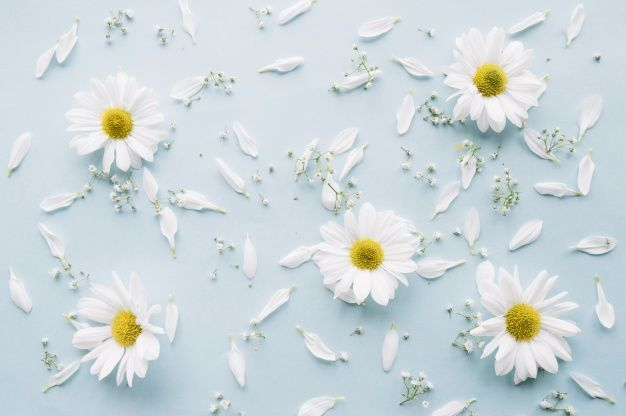 Download Delicate Composition Of Daisies Baby S Breath Flowers And White Petals On A Light Blue Surface For Free Babys Breath Flowers Free Photos Daisy