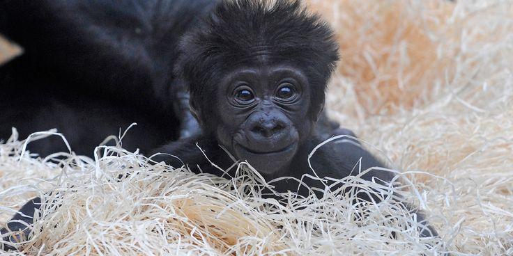 Filhote de gorila Nesta foto, o pequeno Kajolu, nascido pouco antes do início de 2010, olha de sua cama de palha no zoológico de Munique, na Alemanha. As quatro subespécies existentes de gorilas estão ameaçadas ou criticamente ameaçadas de extinção, de acordo com a União Internacional para a Conservação da Natureza e dos Recursos Naturais (IUCN). Same credits