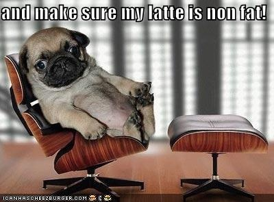 and make sure my latte is non fat!: Like A Boss, Lounges Chairs, Pugs Puppies, Pugs Dogs, Funny, The Offices, Offices Chairs, Baby Pugs, Animal