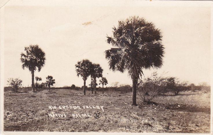RP: RIO GRANDE VALLEY , Texas , 1924, Native Palms