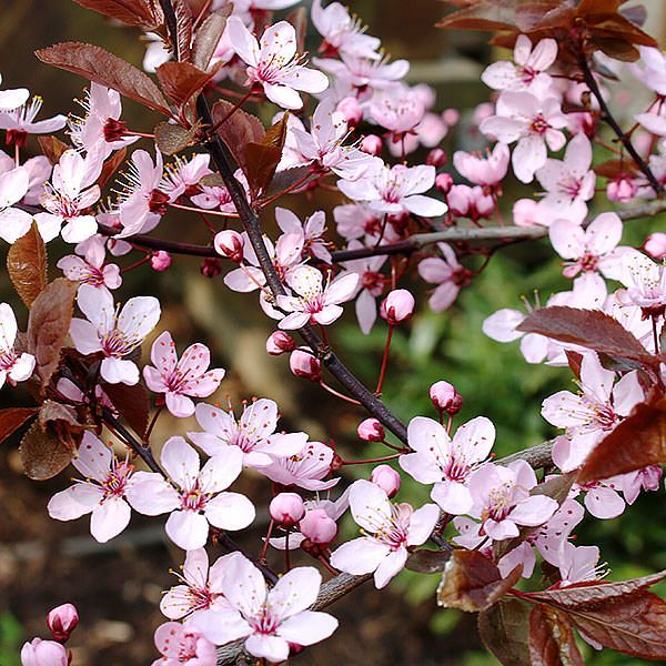 Prunus cerasifera 'Nigra' - Ornamental plum - Tree Shrub - Majestic Trees