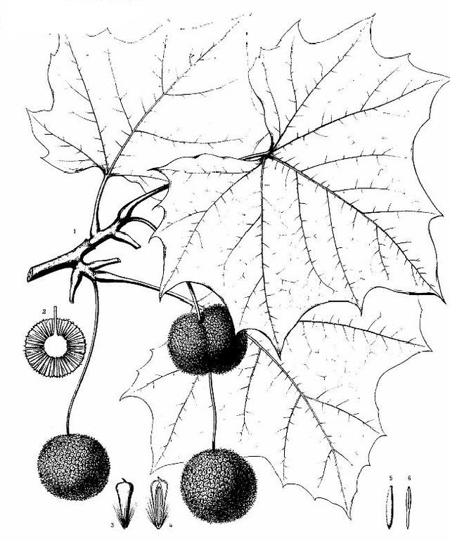 Identify Common American Sycamore - The Major Sycamore Species: Description and Identification of Sycamore