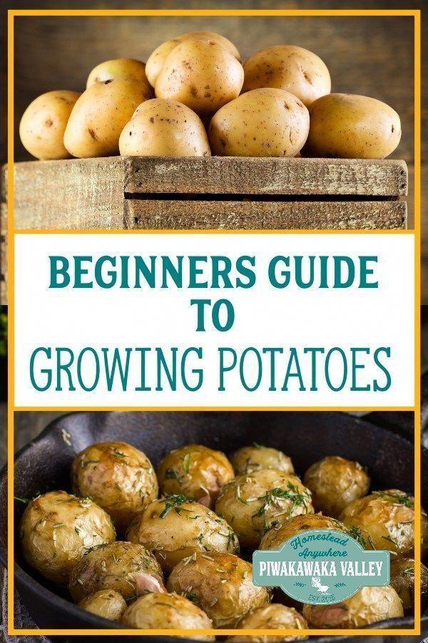 Beginners Guide to Growing Potatoes: How to grow potatoes in pots. #piwakawakava…