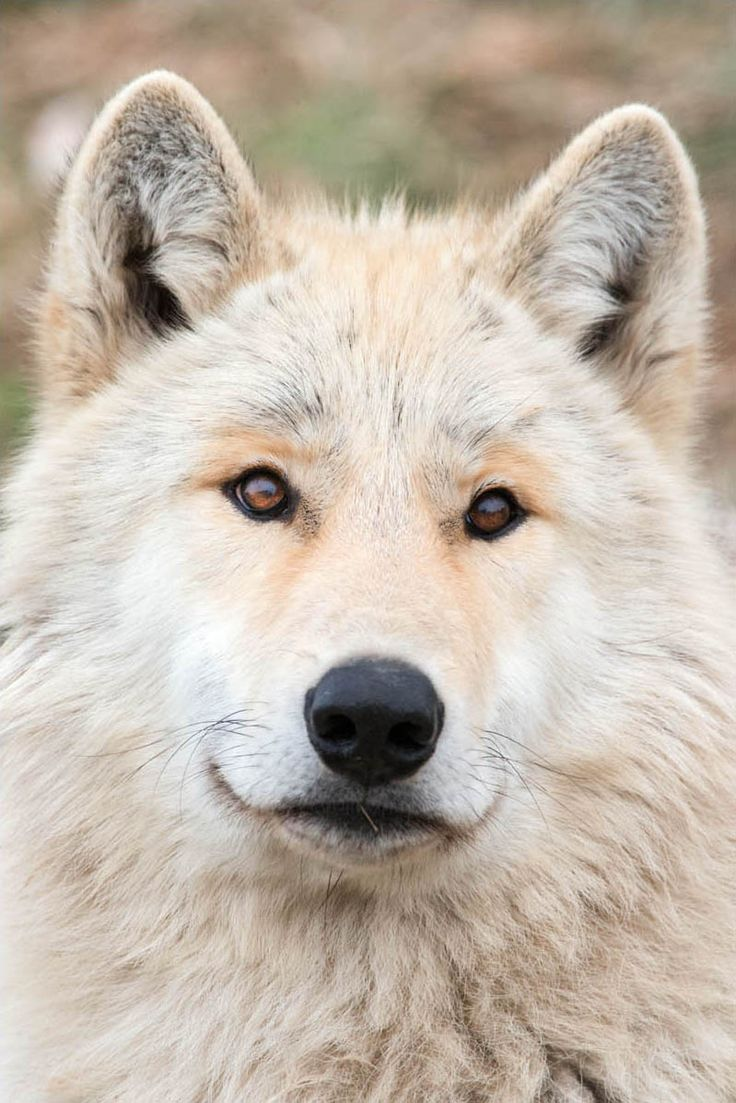 Each wolf has her unique personality.. This one looks so sweet !! •.¸¸.•´¯`•. ❤