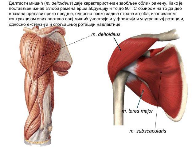 m deltoideus  Google Search | ANATOMY | Anatomy, Massage therapy, Massage