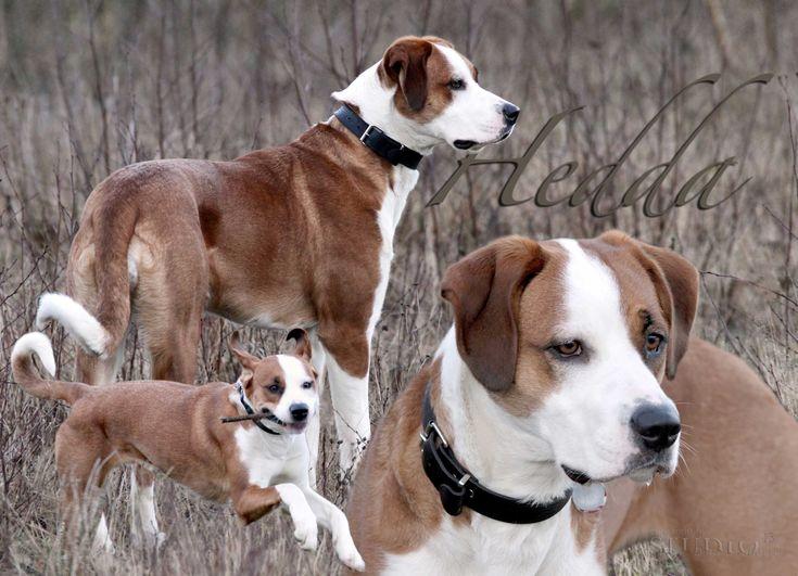 Hedda (Border Collie, Deutscher Boxer, Grosser Schweizer Sennenhund) Mischling Mix