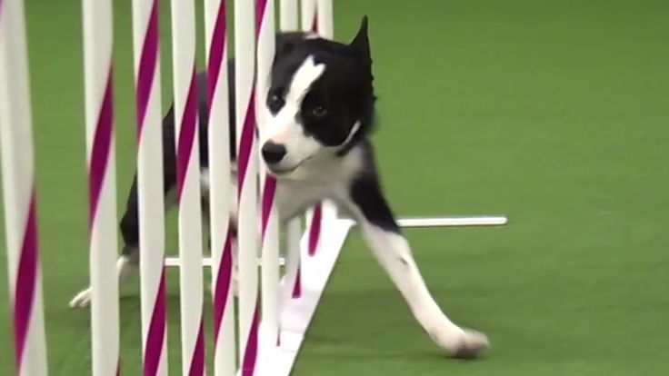 Border Collie Zooms Through the Westminster Dog Show Agility Test in Just a Hair Over 30 Seconds