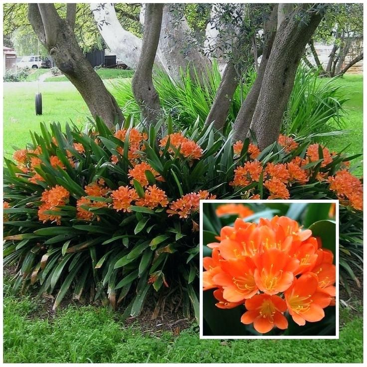 Tropical Plants For Florida Landscaping Fire Lily Is A Shade