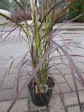 Pennisetum setaceum Red Fox - Rotes Federborstengras - 40-60
