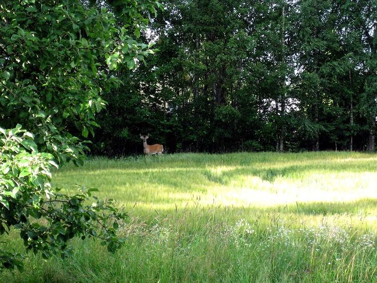 White-tailed deer, summer 2011