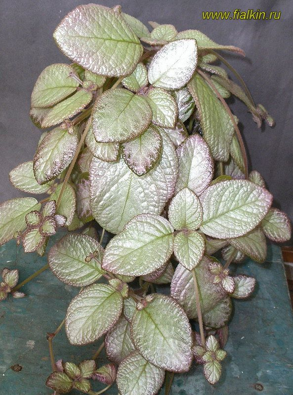 49 Best Episcia My Favorite House Plant Images On