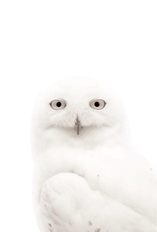 blanc | white | bianco | 白 | belyj | gwyn | color | texture | form |  Owl