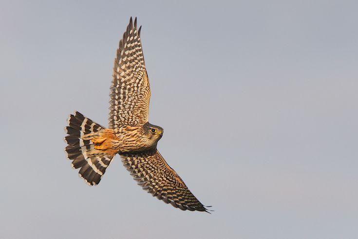 merlin bird of prey | Migrating Birds of Prey 2 - Merlin (8 BIF) - Canon Digital Photography ...
