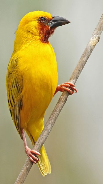 Southern brown-throated weaver (Ploceus xanthopterus)