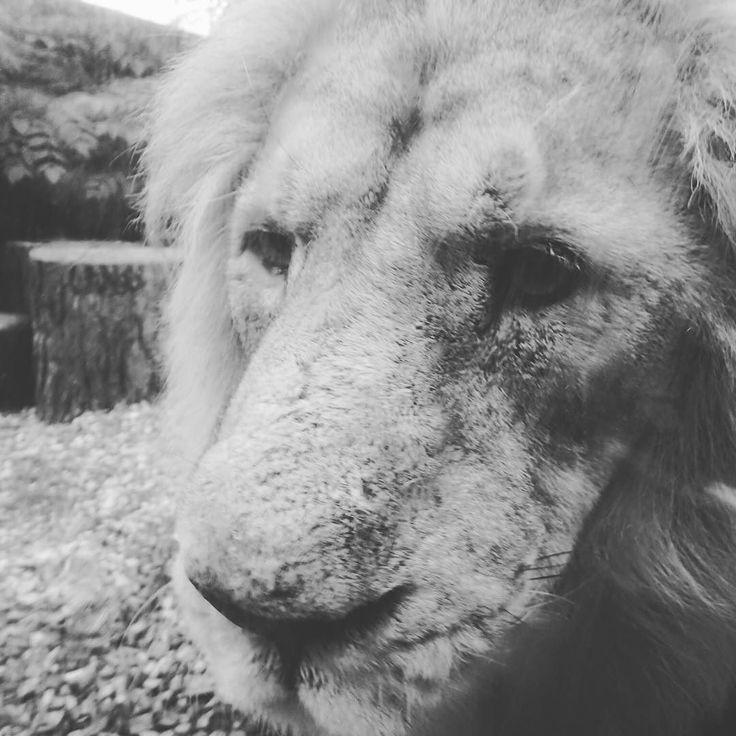 A big cat just saying hello after a long nap #zoo #lion #upclose #selfie @korkeasaari