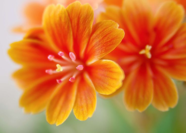 #bloom #blossom #close up #flora #macro #nature #orange flowers #plant #spring