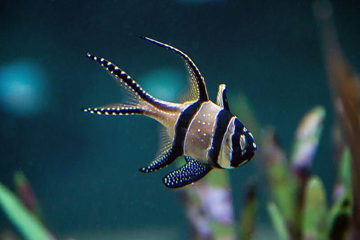 #Banggai cardinal fish (Pterapogon kauderni ) - #Nausicaa aquarium, #BoulogneSurMer, France  - www.gdecooman.fr -