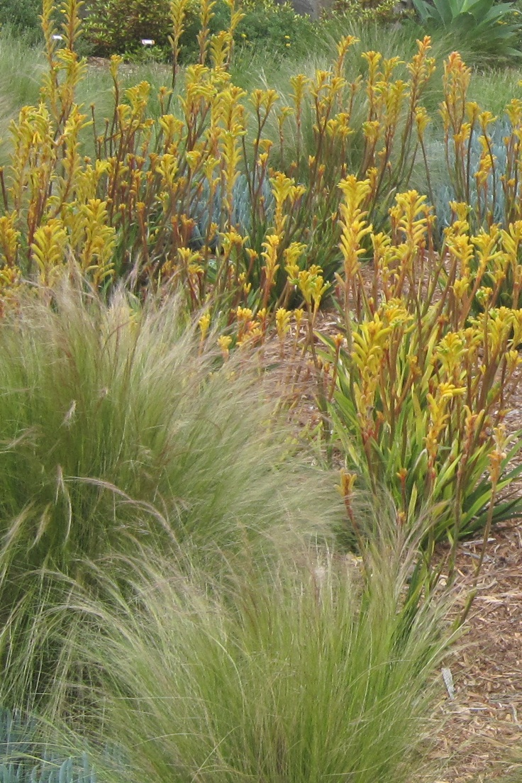 Kangaroo paws in a water-wise garden
