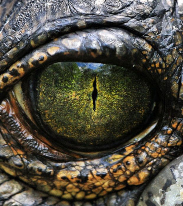 L'oeil perçant du crocodile du Nil