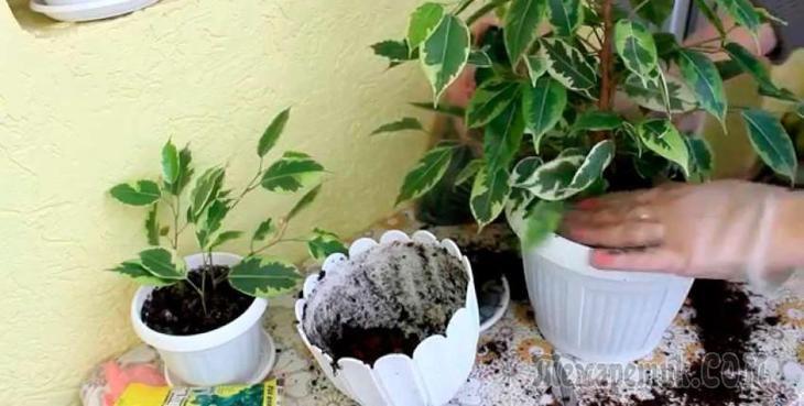 Фикус — популярное и неприхотливое комнатное растение, которое насчитывает около 800 видов.Горшок с фикусом лучше поставить в освещенном месте. Растениям будет неплохо и при небольшом затенении. Окна,...