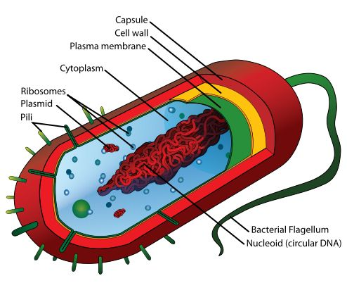 A structural diagram of a bacterium. Bacteria are one domain of prokaryote, a single-celled organism which lacks a membrane-bound nucleus (karyon), mitochondria, or any other membrane-bound organelles.