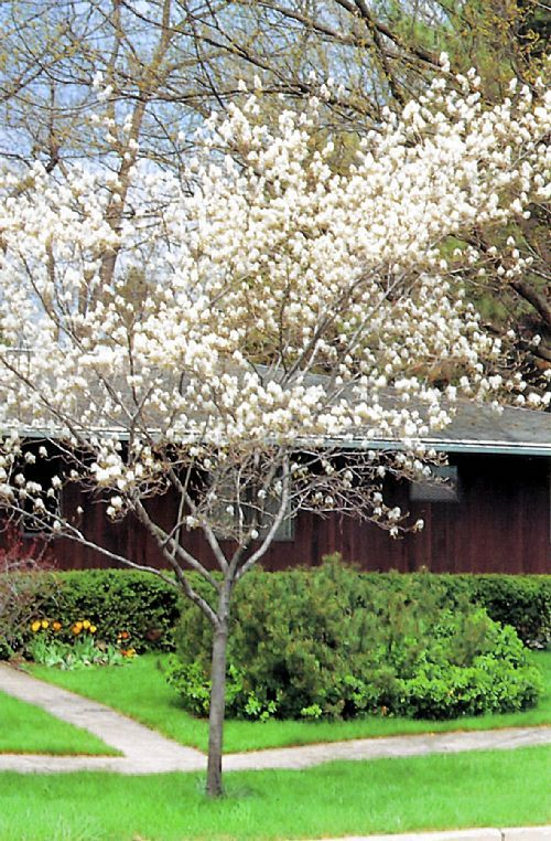 17 best images about trees on pinterest chicago illinois for Garden trees b q