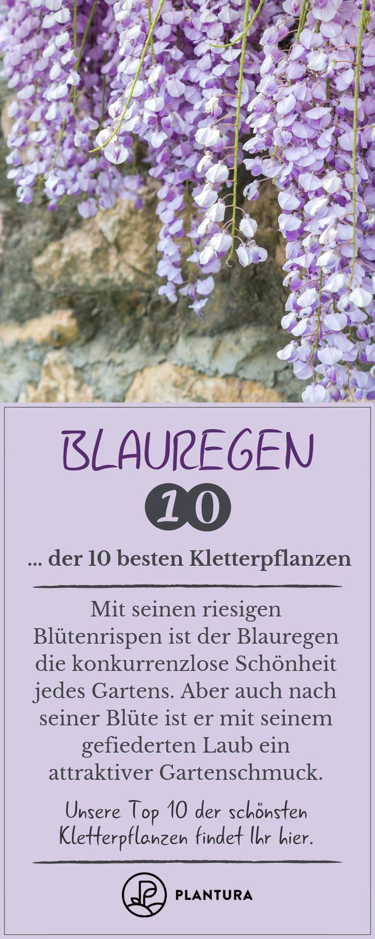 Glyzinien – Platz 10 der 10 besten Kletterpflanzen: Die Glyzinien werden als Dekoration …   – Vertikaler Garten
