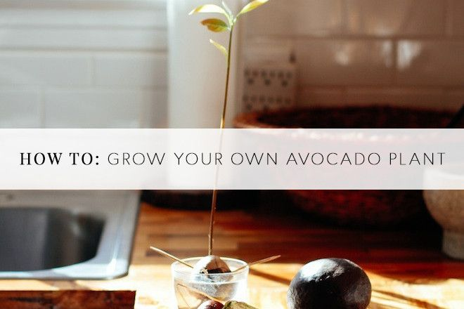 Best 25 avocado plant ideas on pinterest avocado tree for Grow your own avocado tree from seed