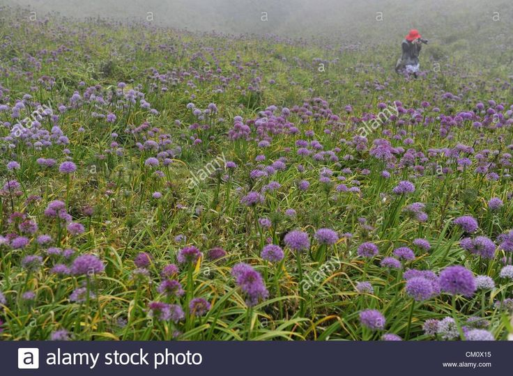 Download this stock image: Tourists from all over the country gathered to appreciate and shoot wild leek flower in Hezhang, Guizhou, China on Sunday September 09, 2012. - CM0X15 from Alamy's library of millions of high resolution stock photos, illustrations and vectors.