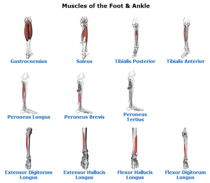 Ankle Muscle Anatomy Idealistus 7962ed6e2c52 - muscle anatomy 101 ...