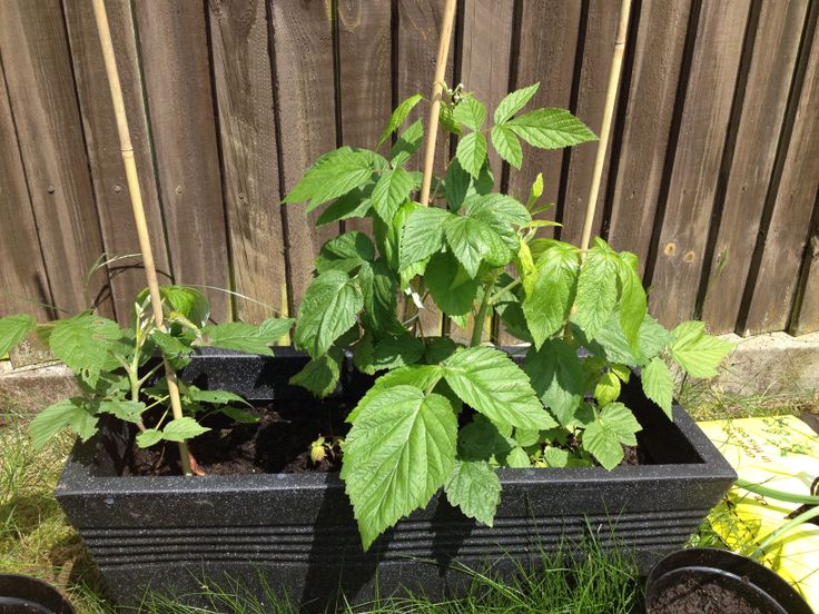 Hopefully have some lovely sweet raspberries on these soon :)