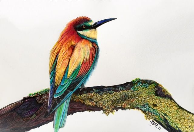 African Bee Eater, in colored pencils drawn freehand and blended just with pencils.