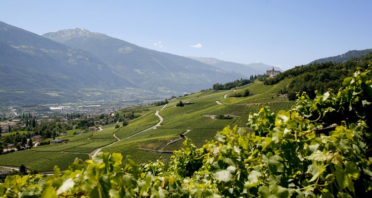 Live from the vines in Sierre, Salgesch & Environs