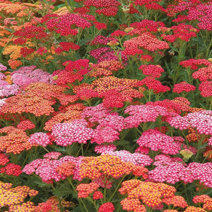35 Best Yarrow Achillea Images On Pinterest