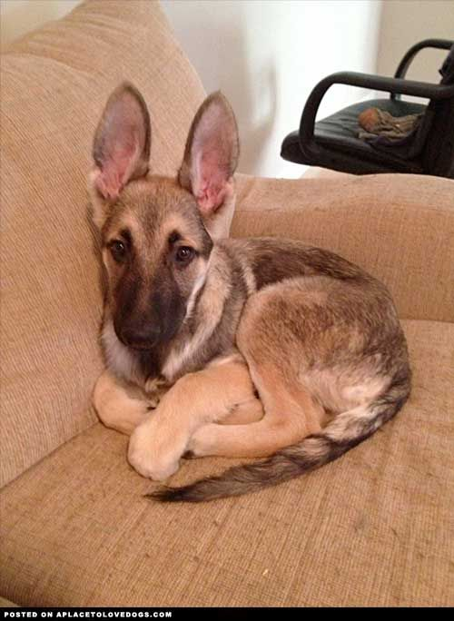 Those ears!! <3 #german #shepherd #puppy