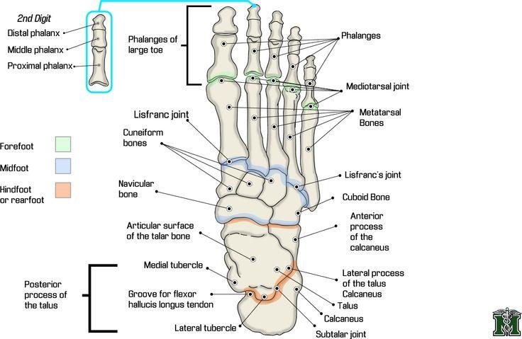 foot anatomy and anatomy on pinterest : foot bones diagram - findchart.co