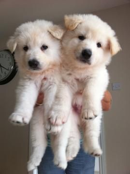 White German Shepherd puppies!!! Wish Razi was still this little! So cute