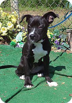 Marietta, GA - Labrador Retriever Mix. Meet SHEBA, a puppy for adoption. http://www.adoptapet.com/pet/10835591-marietta-georgia-labrador-retriever-mix
