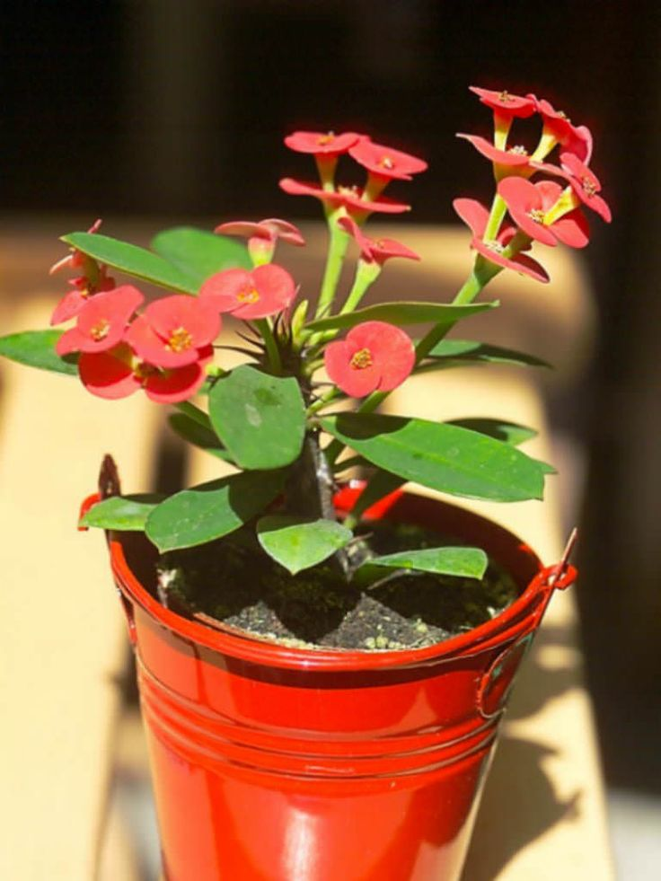 Euphorbia milii - Crown of Thorns, Christ Plant, Siamese Lucky Plant