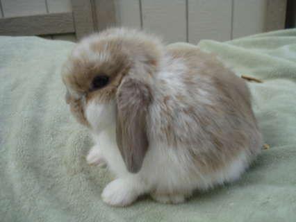 holland lop rabbits | Hoobly: Holland Lop Bunnies