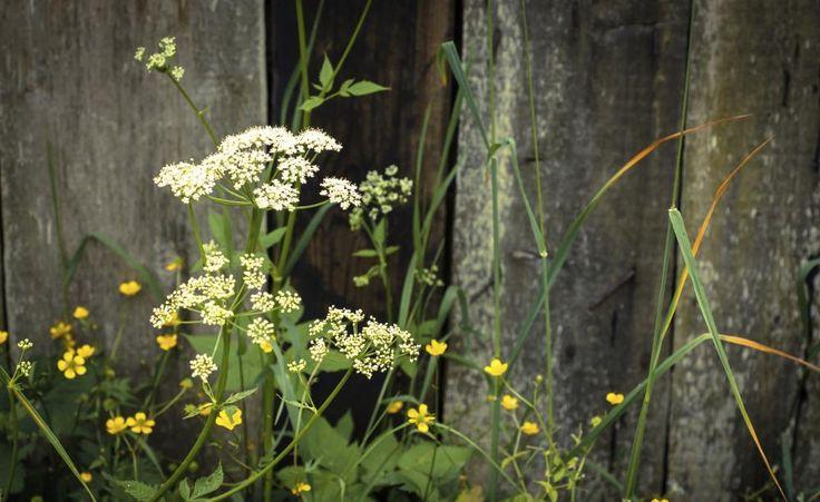 Giersch erfolgreich bekämpfen -  Kaum ein Unkraut im Garten ist so hartnäckig wie der Giersch. So verbannen Sie die lästige Pflanze erfolgreich aus Ihrem Garten.